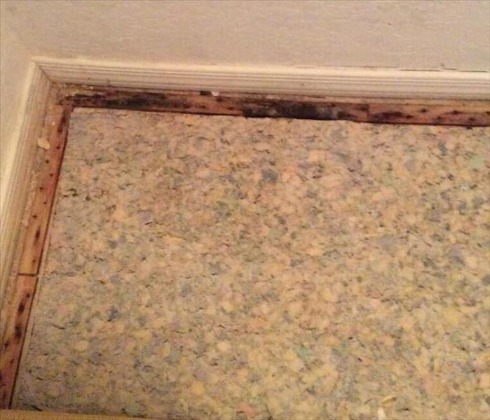 carpet pulled back revealing carpet pad and mold growing on the wooden trim the carpet is nailed to